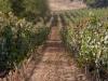 marsciano-vineyard-3