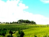 vineyard-4